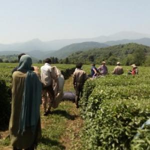 گشت مزرعه بزرگ چای